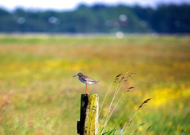 tureluur biodiversiteit